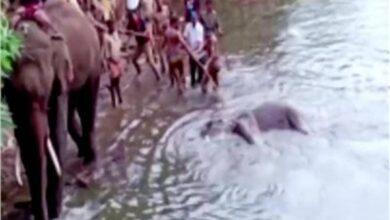 Photo of مزحة مع أنثى الفيل تهز العالم .. أهالي قرية هندية يقتلوها بـ«أناناسة مفخخة»
