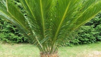 Photo of بالتفاصيل.. معلومات عن نبات «سيكاس» بعد تسجيل أول حالة تسمم في مصر