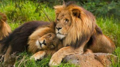 Photo of شاهد أسرار المثلية الجنسية لدى الحيوانات (فيديو)